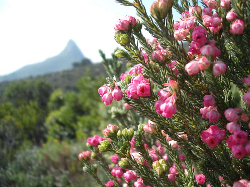 The Fynbos Kingdom of the Cape Peninsula
